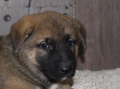 Ace: male [Akita Shepherd] puppy in New Haven, Indiana (Shepkita)