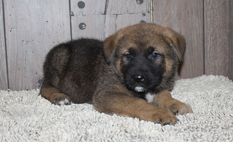 Aaron: male Akita Shepherd pupper for sale [New Haven, IN]