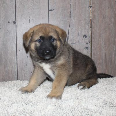 Alex: male Akita Shepherd puppy for sale [Indiana]