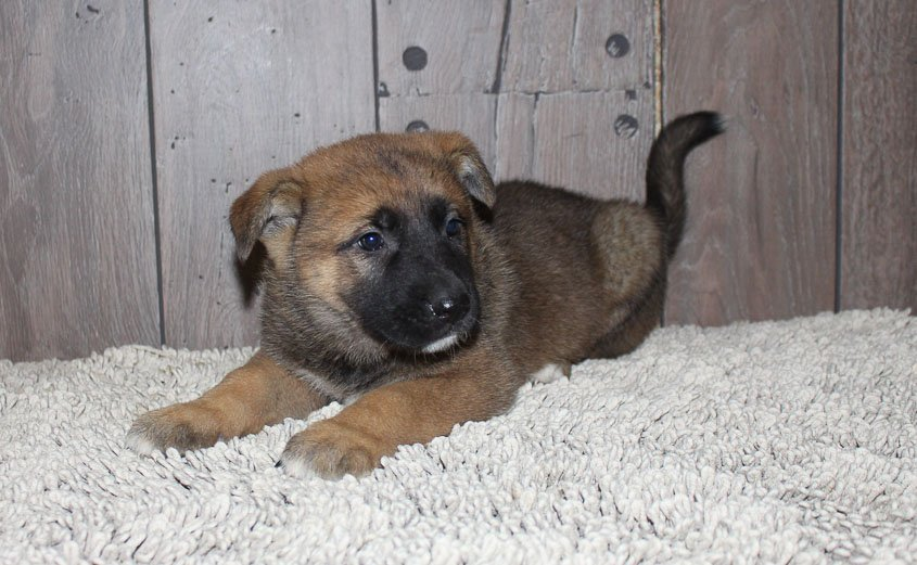 Allison: female Akita Shepherd (Shepkita) puppy [New Haven, IN]