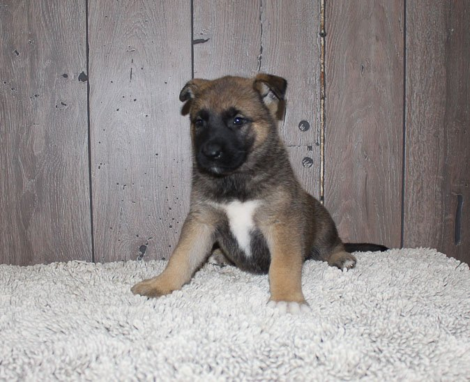 Awesome: female [Akita Shepherd] pupper for sale in New Haven, IN