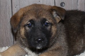 Adorable: female Akita Shepherd pupper for sale [New Haven, IN]