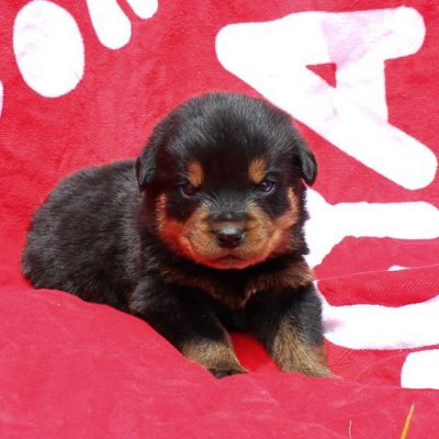 Landon: AKC Male Rott Puppy (Shipshewana, Indiana) on sale
