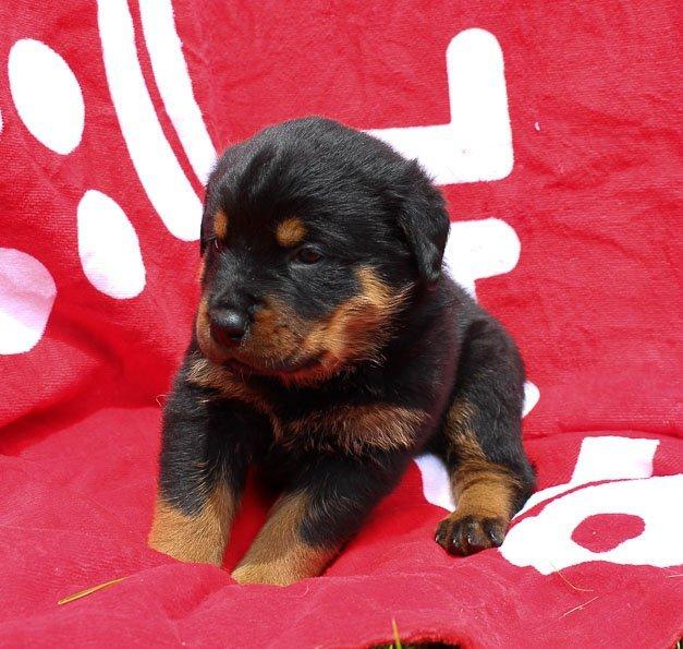 Jaylon: Male AKC Rottweiler puppy for sale in Shipshewana, IN