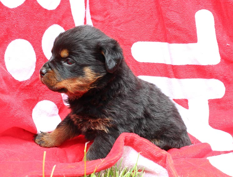 Justice: Male AKC Rottweiler puppy in Shipshewana, Indiana
