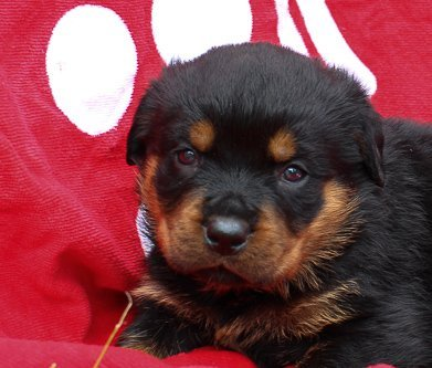 Jackson: AKC Male Rottweiler puppy in Shipshewana, IN for sale