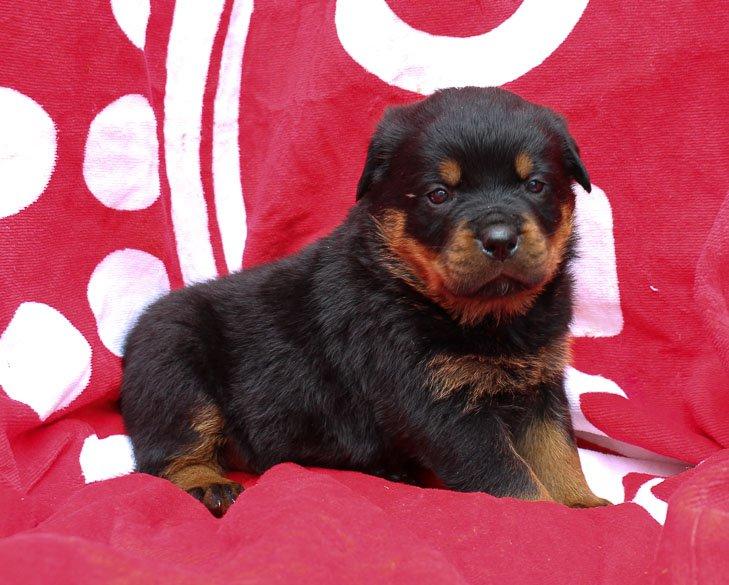 Jasper: Male AKC Rottweiler Puppy (Shipshewana, Indiana)