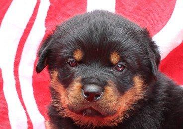 Jaden - Rottweiler Puppy [Shipshewana, Indiana]