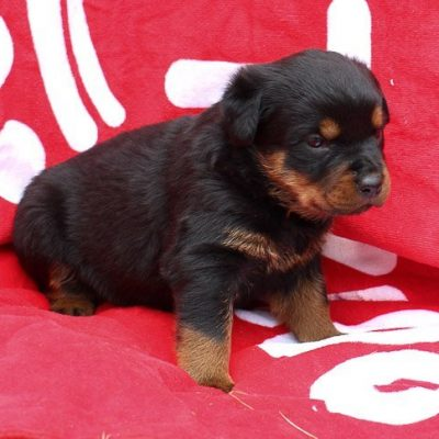 Jayla: Female AKC Rottweiler puppy for sale in Shipshewana, Indiana