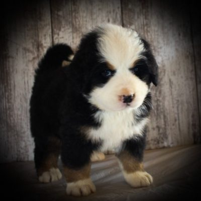 Liam - AKC Bernese Mountain Dog puppies for sale in Grabill, IN