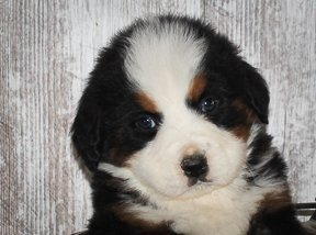 Larry: Bernese Mountain Dog puppy for sale in Grabill, IN