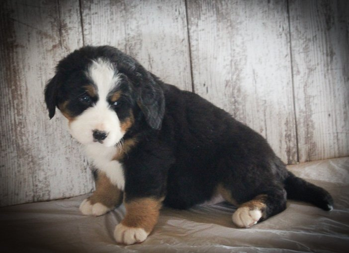 Leo: Male AKC Bernese Mountain Dog in Grabill, IN for sale