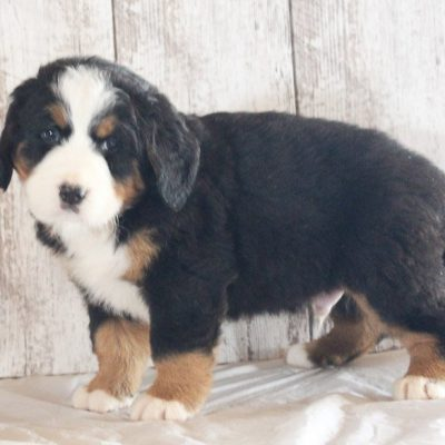 Leo: Male AKC Bernese Mountain Dog in Grabill, IN for sale