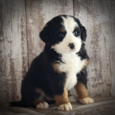 AKC Bernese Mountain Dog for sale in Grabill, Indiana - Lindsey
