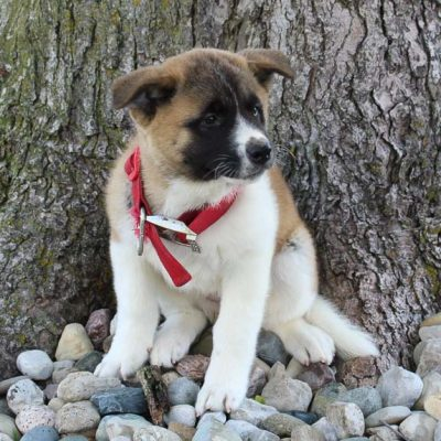 Grace: Female AKC Akita puppy for sale [New Haven, IN]