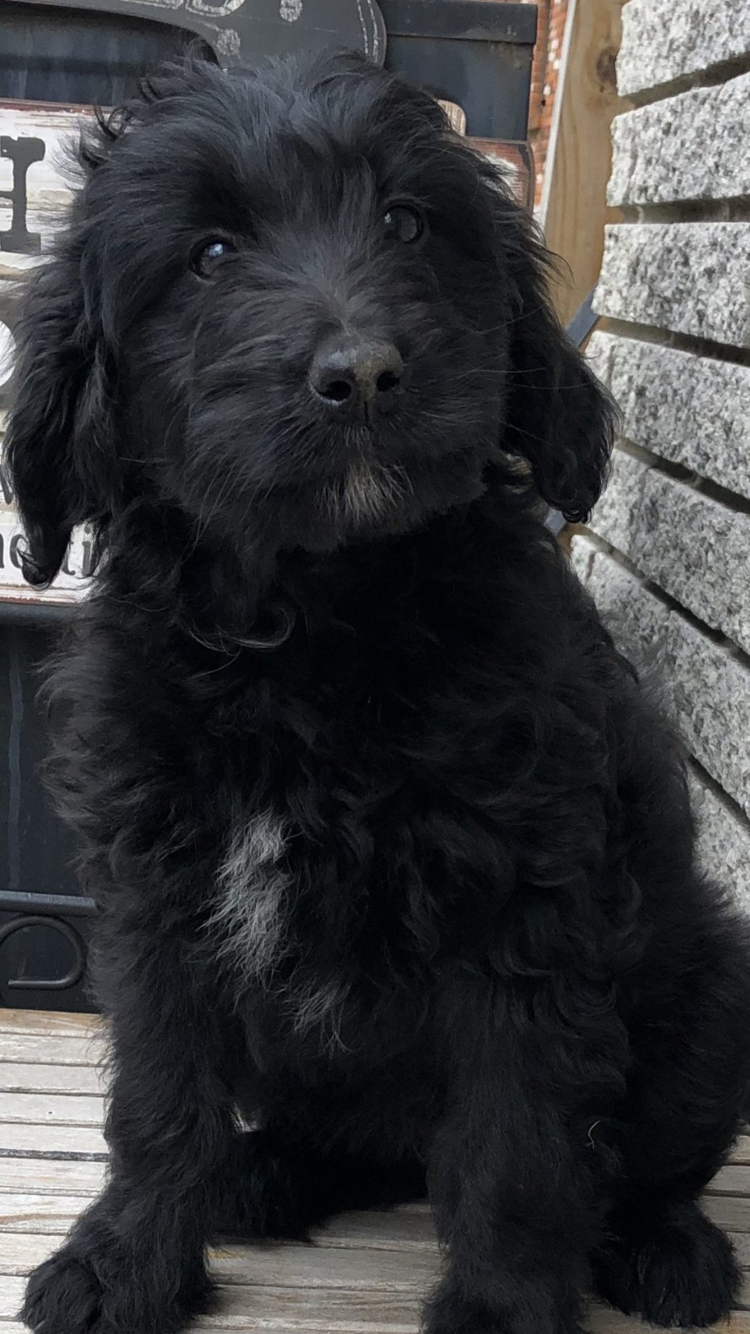 Abby: Female F1b Mini Bernedoodle for sale in Richmond, MI. (Males also available) CALL 810-305-2757