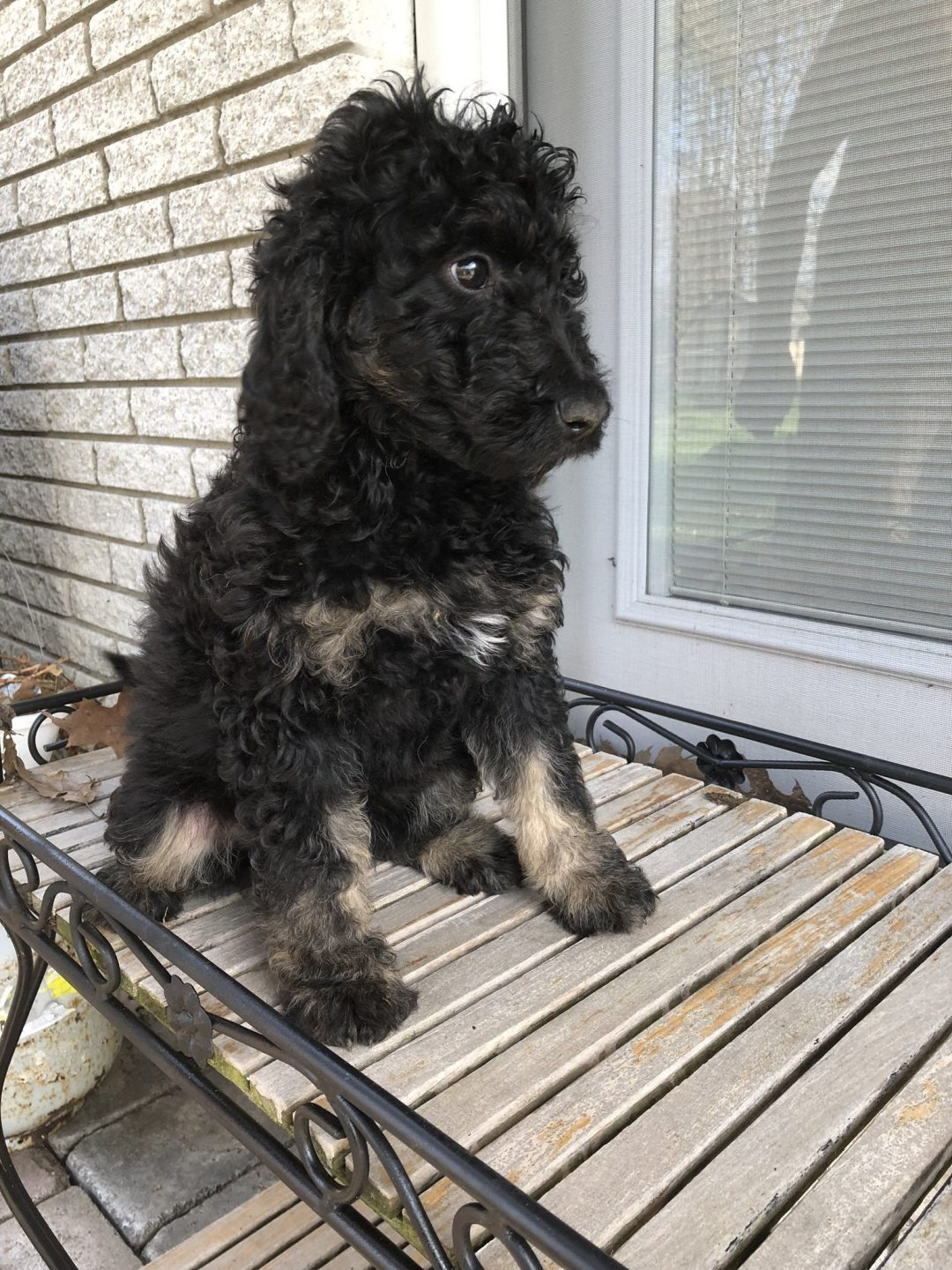 Suzie: Female F1b Mini Bernedoodle puppy for sale [Richmond, Michigan]