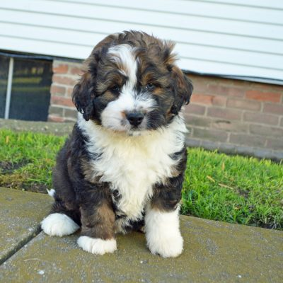 Dixon: Male APRI Mini Bernedoodle for sale [Arthur, Illinois]