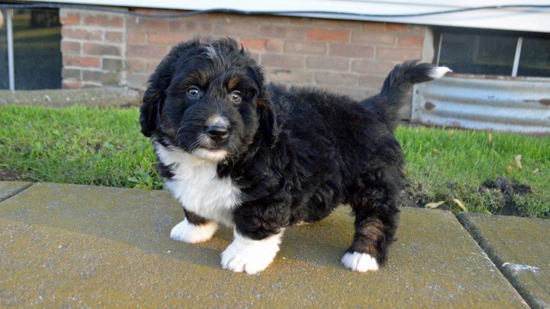 Edison: Male APRI Mini Bernedoodle puppy for sale in Arthur, IL