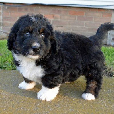 Edison: Male APRI Mini Bernedoodle puppy for sale in Arthur, IL