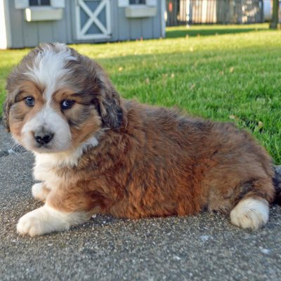 Felix: APRI Male Mini Bernedoodle puppy for sale [Arthur, Illinois]