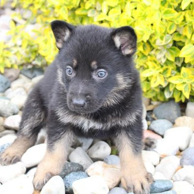 Jennifer: AKC German Shepherd female puppy [New Haven, Indiana]
