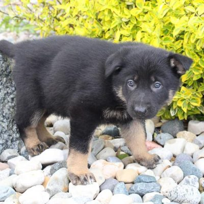 Joe: Male AKC German Shepherd for sale [New Haven, Indiana]