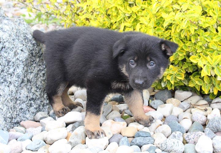 Joe: Male AKC German Shepherd for sale [New Haven, Indiana]