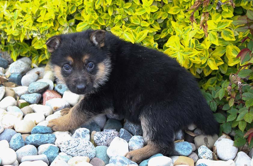 Renae: Female AKC German Shepherd puppy [New Haven, IN]