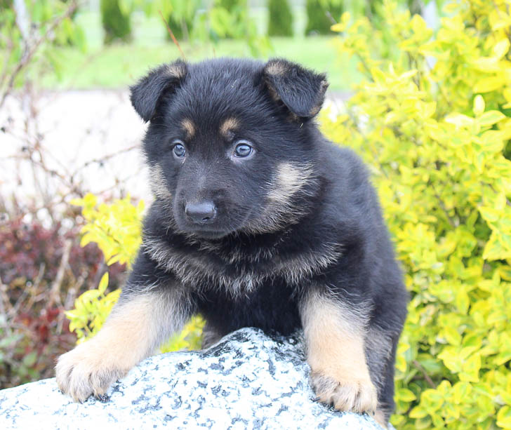 Nate: AKC Male German Shepherd [New Haven, IN] puppy for sale
