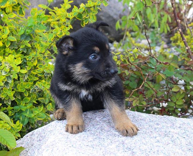 Jake: Male AKC German Shepherd puppy for sale [New Haven, Indiana]
