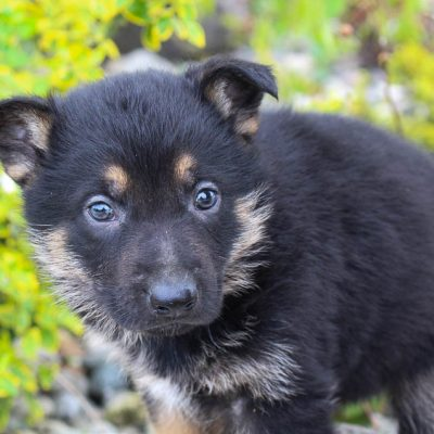 Jake: Male AKC German Shepherd puppy for sale [New Haven, Indiana]
