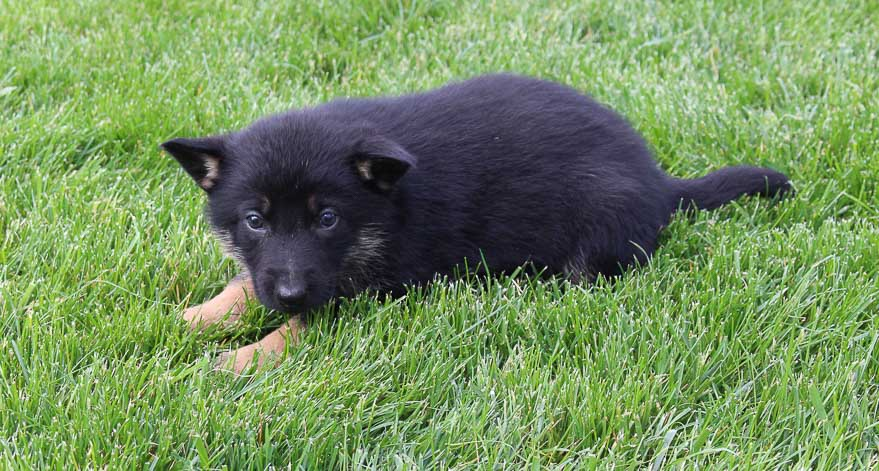 Dan: Male AKC German Shepherd puppy for sale [New Haven, IN]
