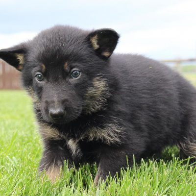 Dan: Male AKC German Shepherd puppy for sale [New Haven, IN]