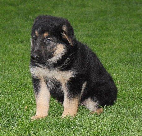 Jewel: Female [German Shepherd puppy] for sale in New Haven, IN