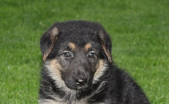 Jewel: Female [German Shepherd puppy] for sale in New Haven, IN