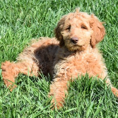 Halle: F1B Standard Female Goldendoodle puppy for sale in Indiana