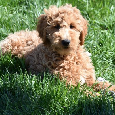 Vallery: F1B Standard Female Goldendoodle in Syracuse, Indiana for sale