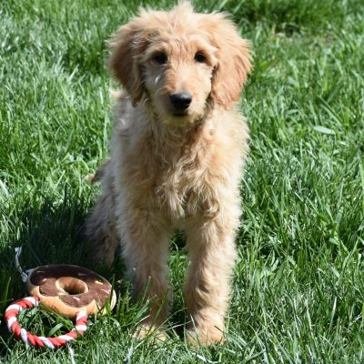 Lexie: F1B Standard Female Goldendoodle puppy for sale in Syracuse, IN