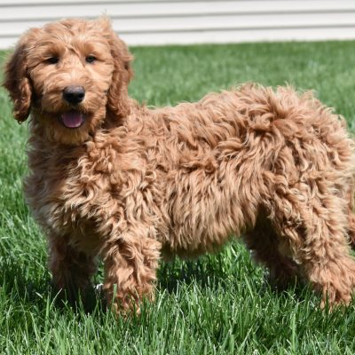 Miley: : F1B Standard female Goldendoodle puppy for sale in Syracuse, IN