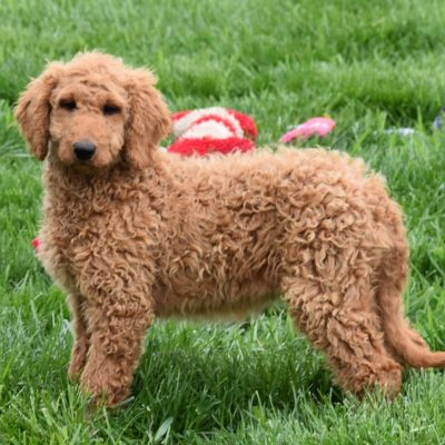Tessa - F1B Standard female Goldendoodle for sale in Syracuse, Indiana