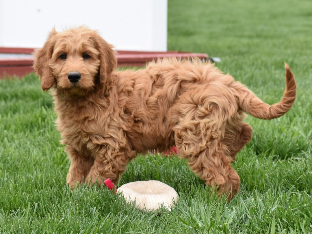 Josh: Male F1B [Standard Goldendoodle] puppy in Syracuse, IN for sale