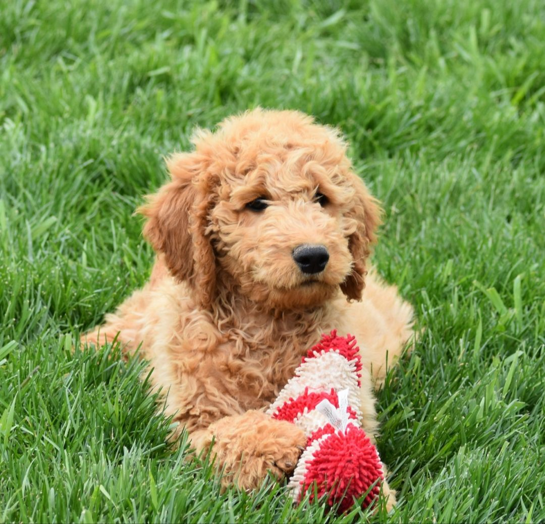 TJ: Standard Goldendoodle male puppy for sale [Syracuse, IN]