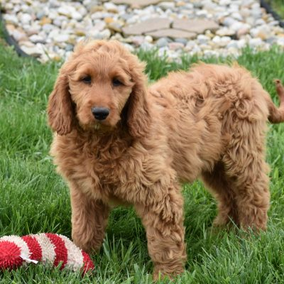 Blitz: Standard Goldendoodle male puppy for sale in Syracuse, IN [F1B]