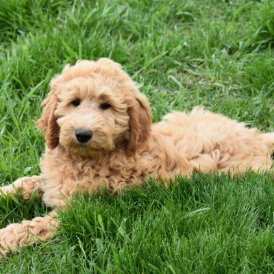 Oscar: F1B Standard Goldendoodle male puppy in Syracuse, IN for sale