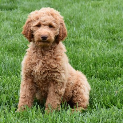 Alex: Male F1B Standard Goldendoodle puppy in Syracuse, IN [Ready Now]