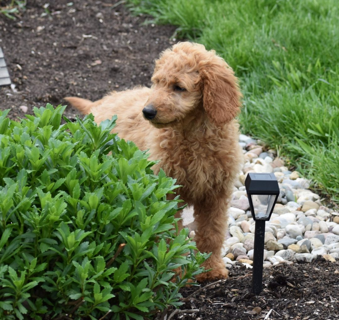 Hope: Female F1B Standard Goldendoodle puppy [Syracuse, IN]