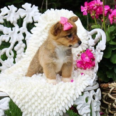 Marley: DM Free Female AKC Welsh Corgi puppy [Indiana] for sale