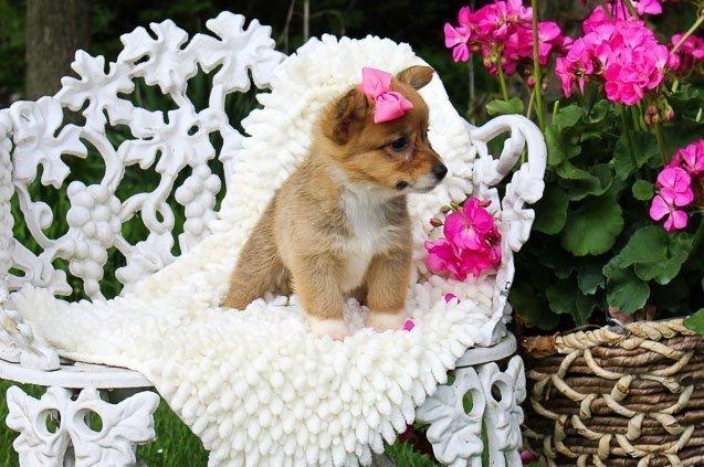 Marley: Female AKC Welsh Corgi puppy [Indiana] for sale