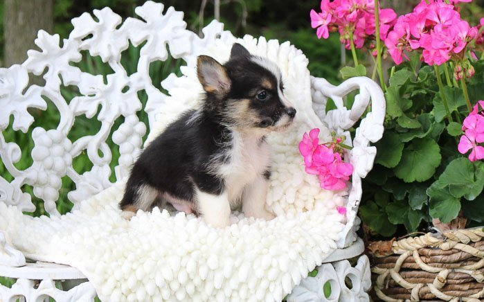 Maddox: Male Pembroke Welsh Corgi puppy for sale [Woodburn, IN]